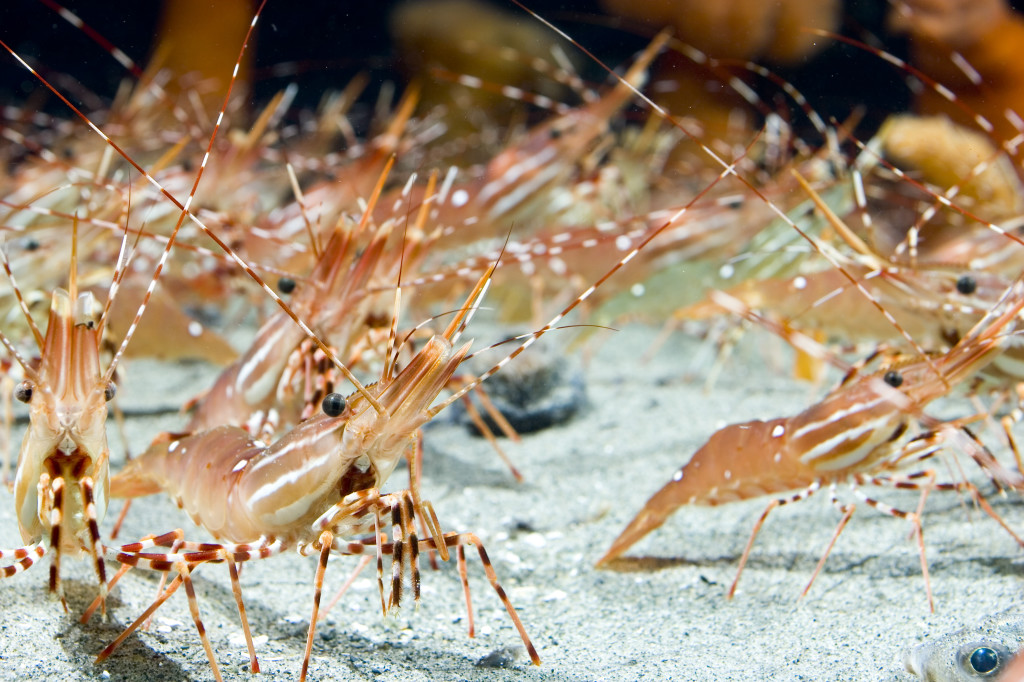Spot Prawn Stampede: Photo Credit Vancouver Aquarium