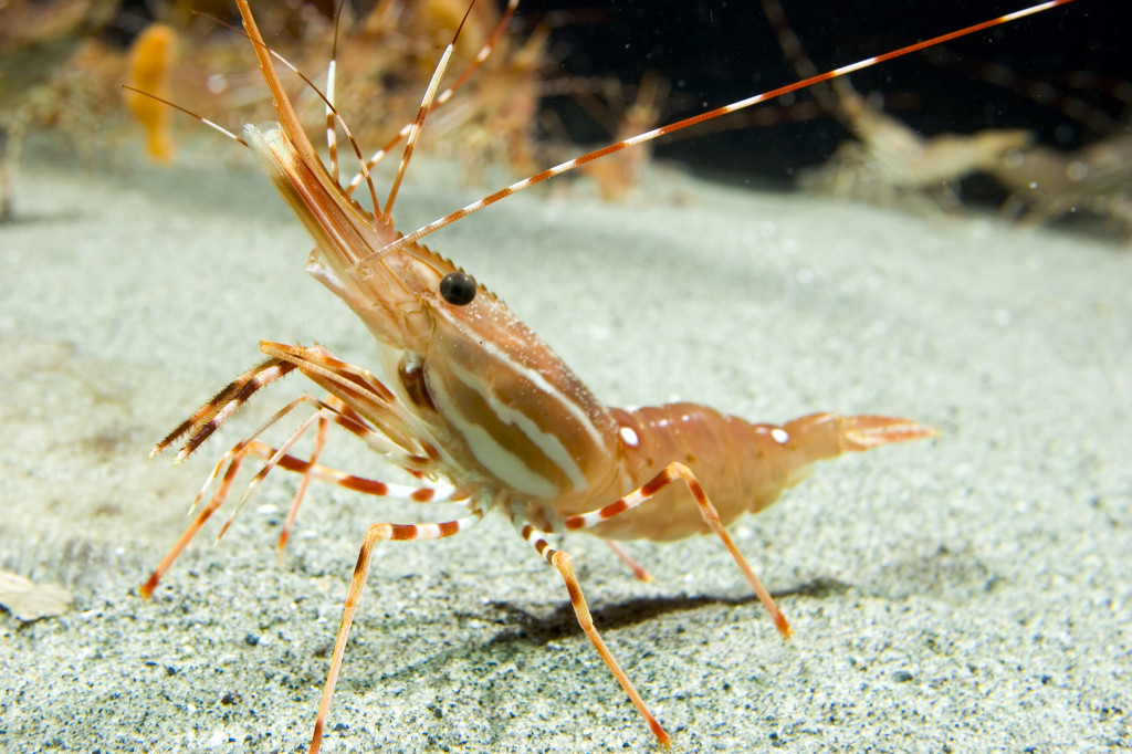 BC Spot Prawn Photo Credit Vancouver Aquarium
