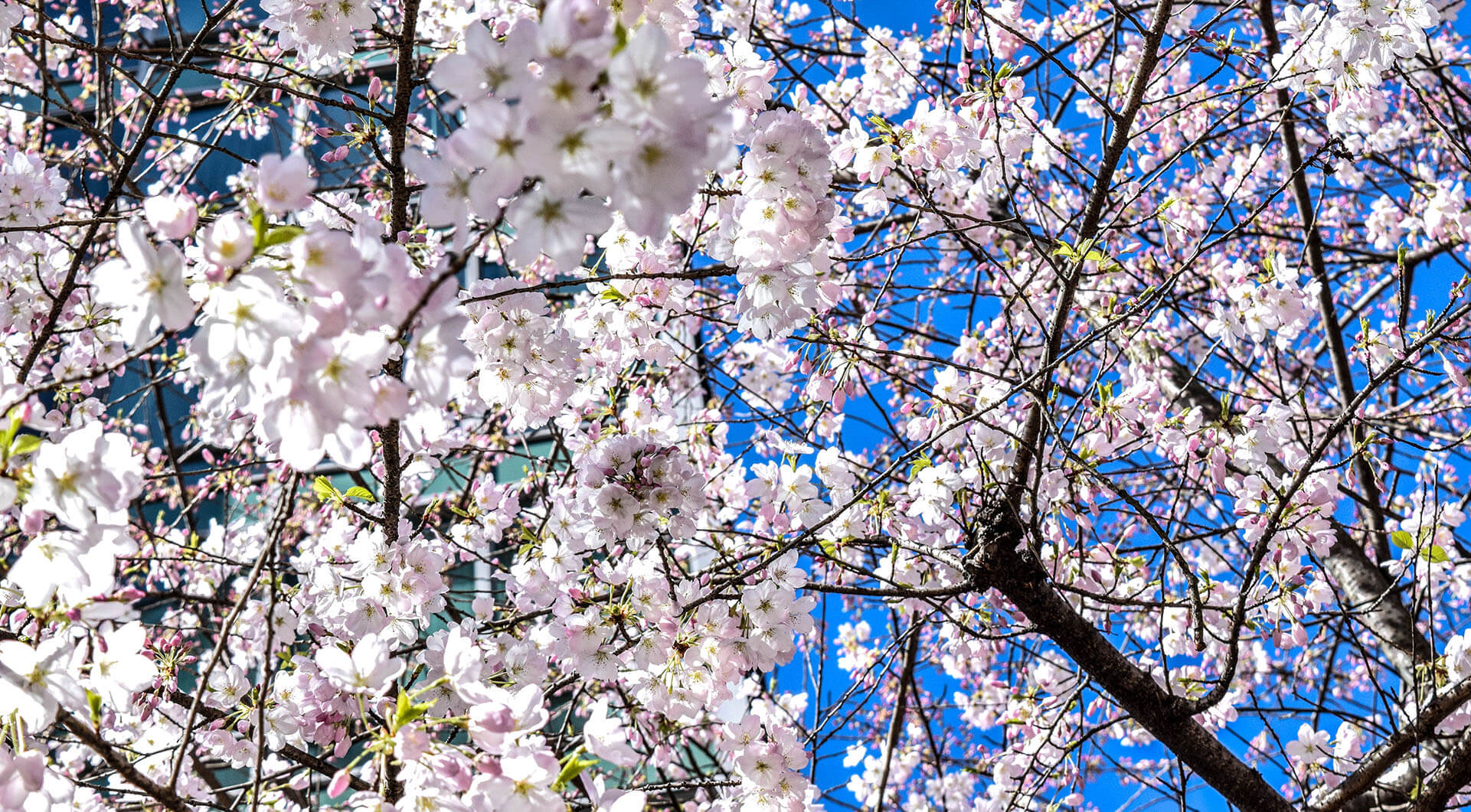 Cherry Blossom at Vancouver Extended Stay